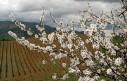 amendoeiras